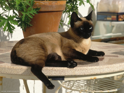 +45 Adorable Siamese Cat Wallpapers 22