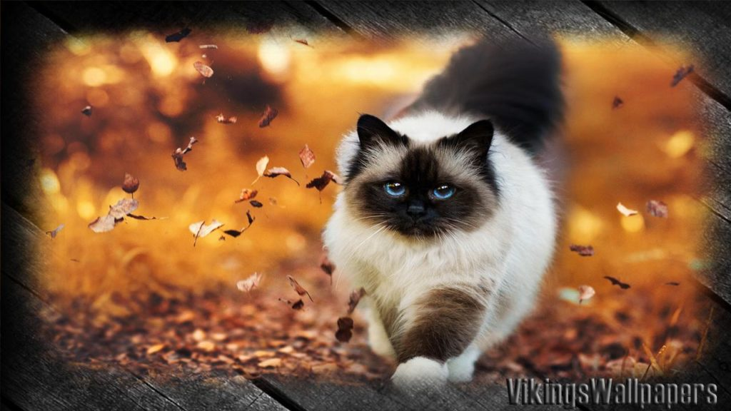 +45 Adorable Siamese Cat Wallpapers 25
