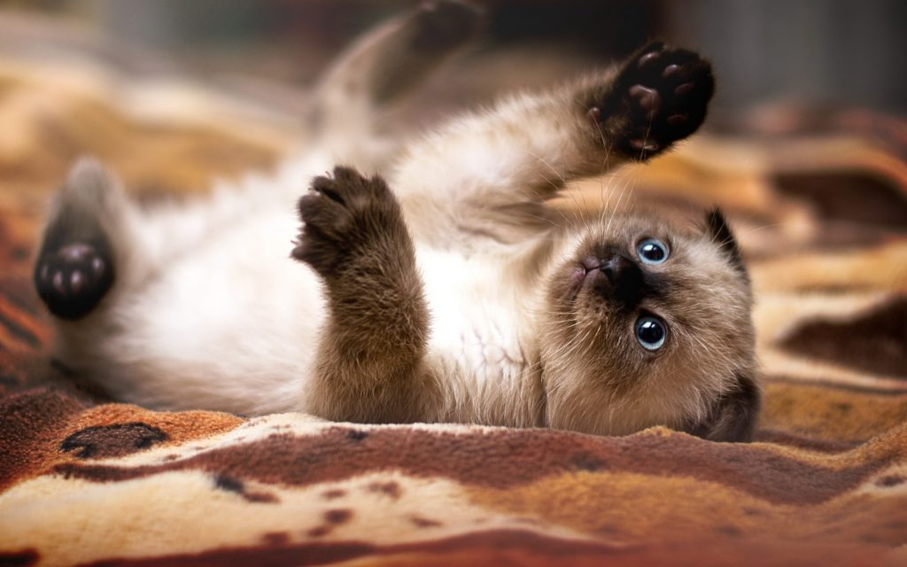 +45 Adorable Siamese Cat Wallpapers 26