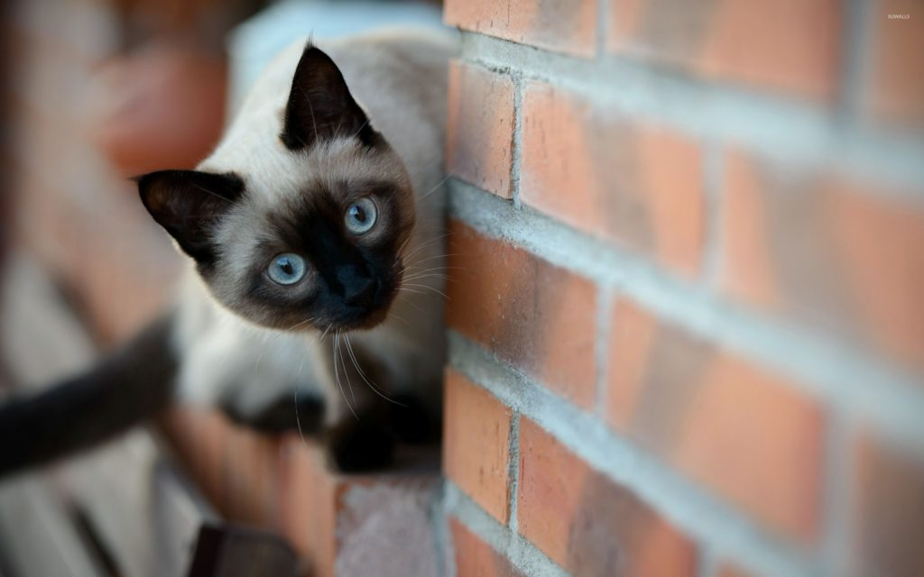 +45 Adorable Siamese Cat Wallpapers 28