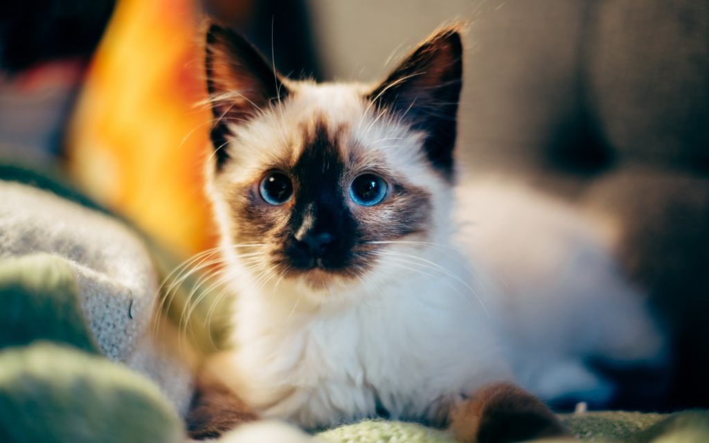 +45 Adorable Siamese Cat Wallpapers 29