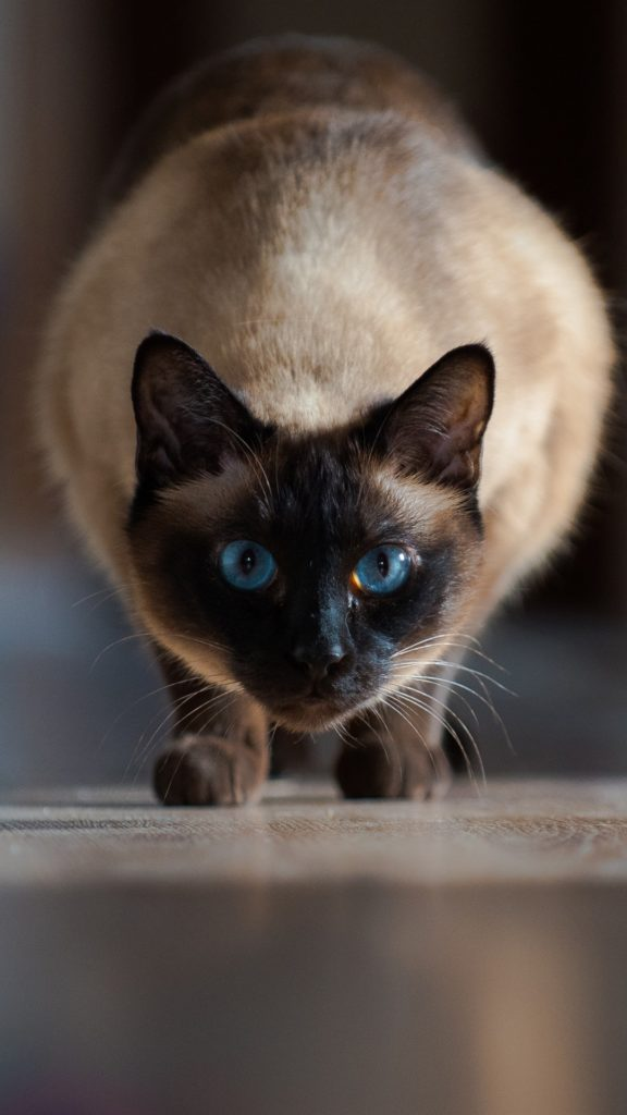 +45 Adorable Siamese Cat Wallpapers 30