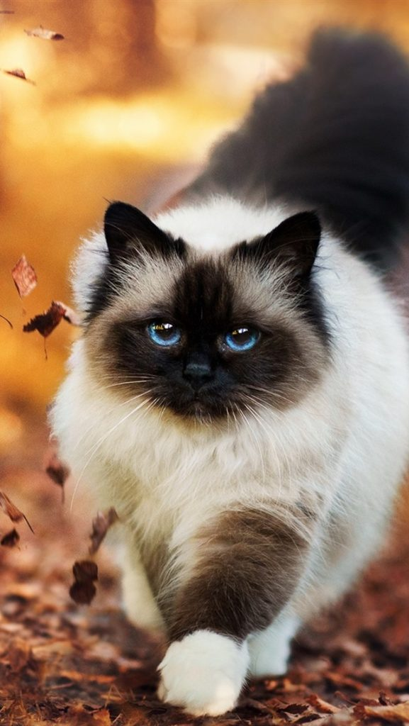 +45 Adorable Siamese Cat Wallpapers 31