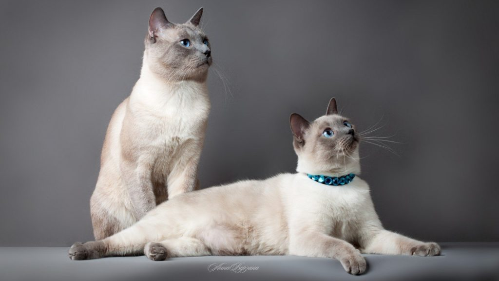 +45 Adorable Siamese Cat Wallpapers 32