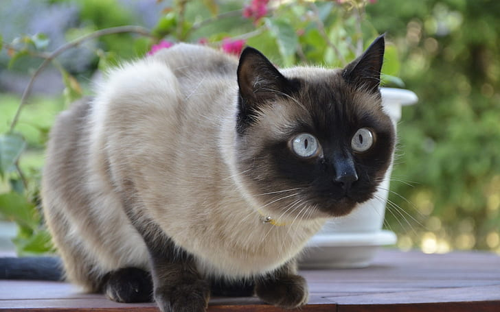 +45 Adorable Siamese Cat Wallpapers 33