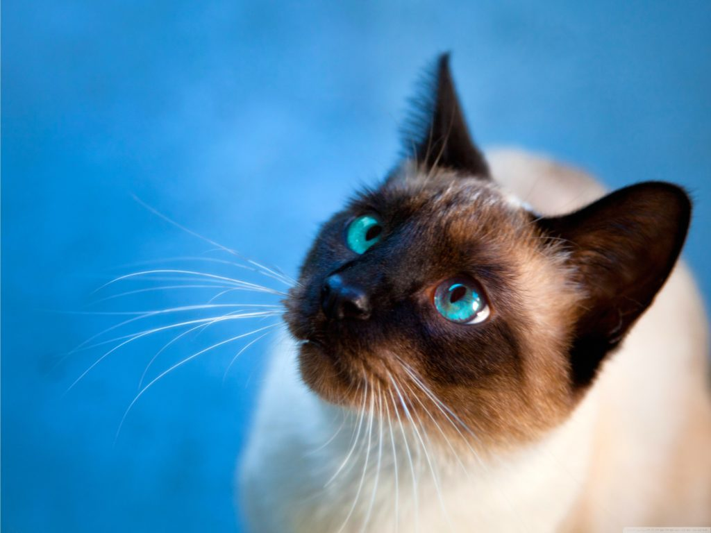 +45 Adorable Siamese Cat Wallpapers 34