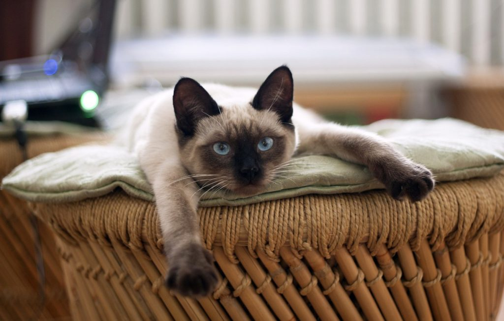 +45 Adorable Siamese Cat Wallpapers 35
