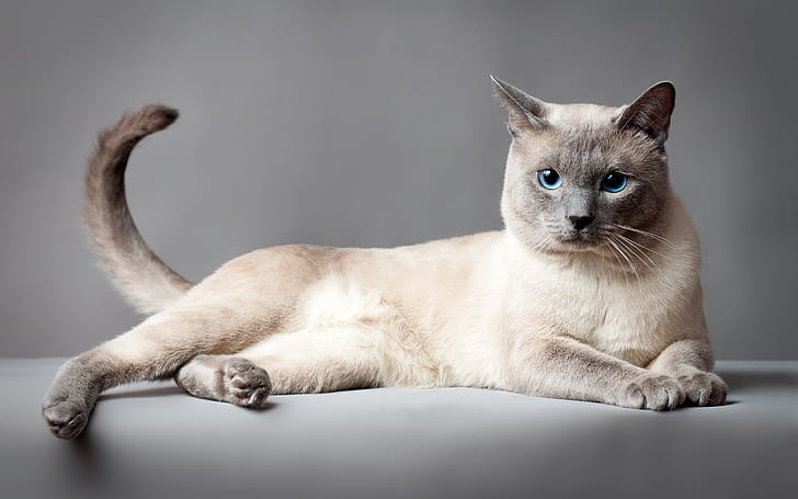 +45 Adorable Siamese Cat Wallpapers 36