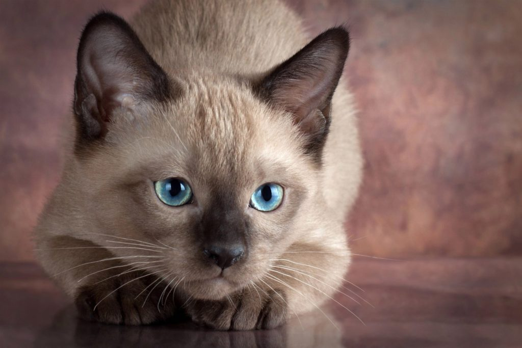 +45 Adorable Siamese Cat Wallpapers 38