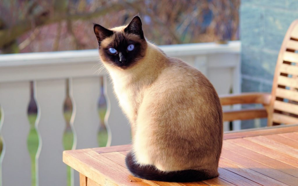 +45 Adorable Siamese Cat Wallpapers 39