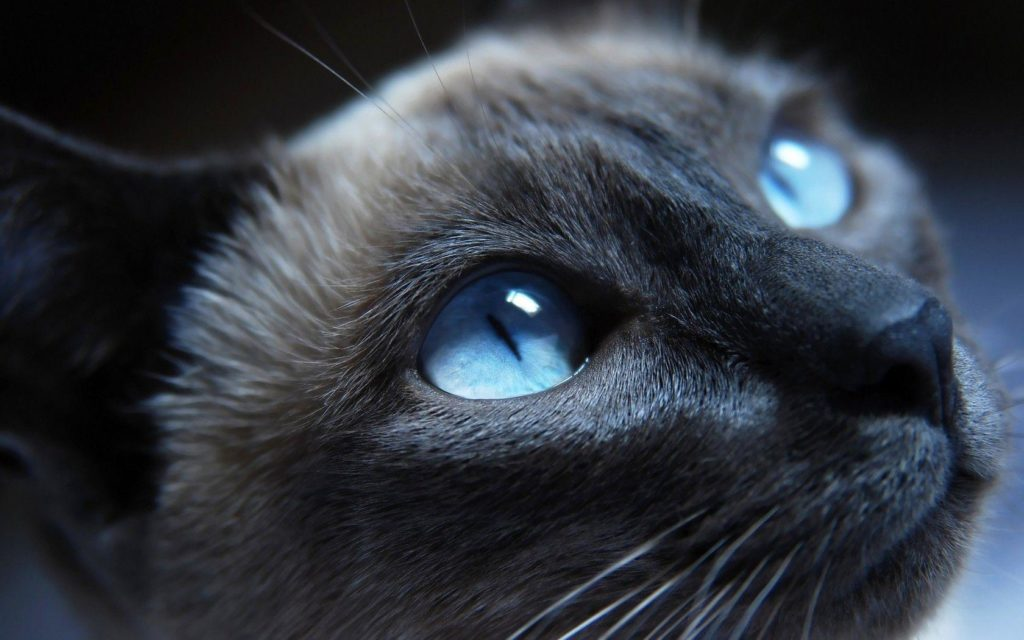 +45 Adorable Siamese Cat Wallpapers 40