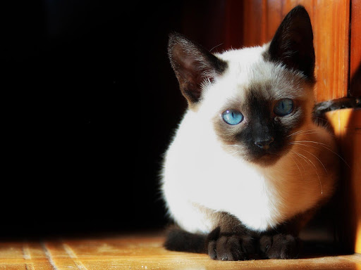 +45 Adorable Siamese Cat Wallpapers 41