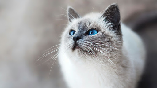 +45 Adorable Siamese Cat Wallpapers 42