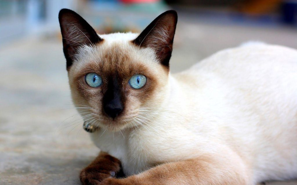 +45 Adorable Siamese Cat Wallpapers 43