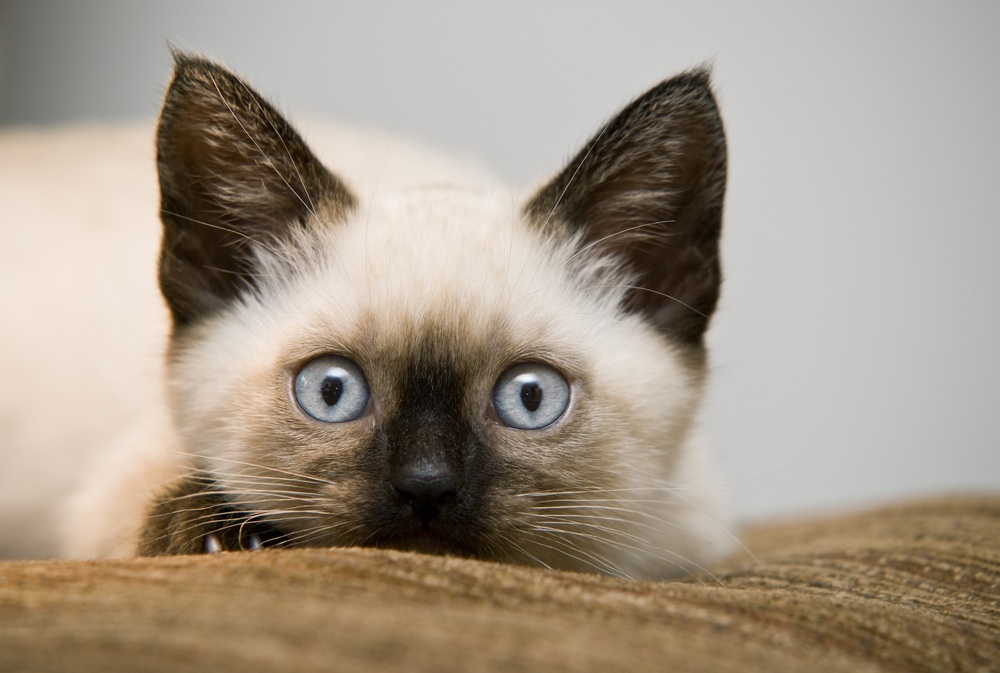 +45 Adorable Siamese Cat Wallpapers 44