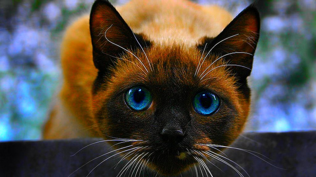 +45 Adorable Siamese Cat Wallpapers 45