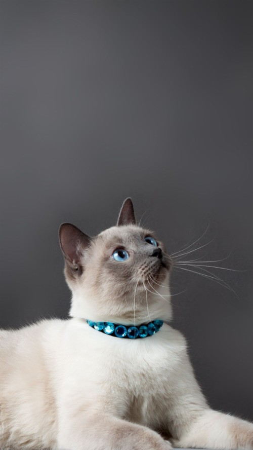+25 iPhone Siamese Cat Wallpapers 2