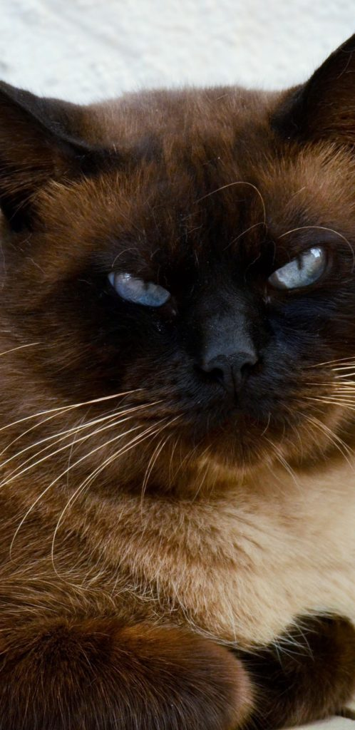 +25 iPhone Siamese Cat Wallpapers 3