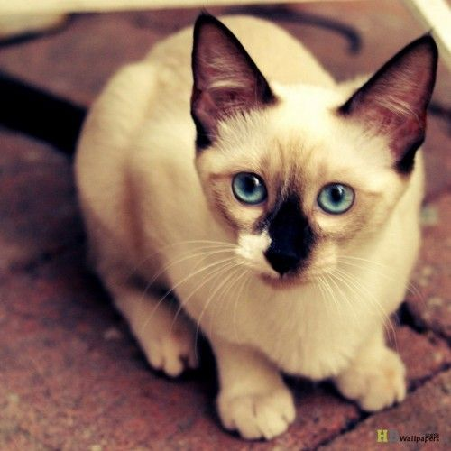+25 iPhone Siamese Cat Wallpapers 6