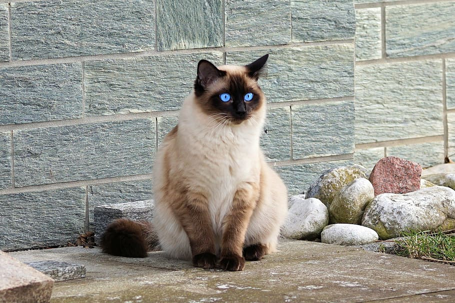 +25 iPhone Siamese Cat Wallpapers 7