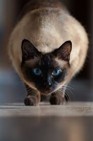 +25 iPhone Siamese Cat Wallpapers 11