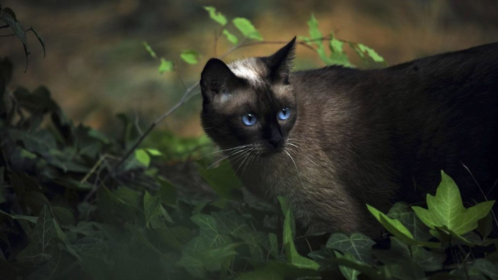 +25 iPhone Siamese Cat Wallpapers 12