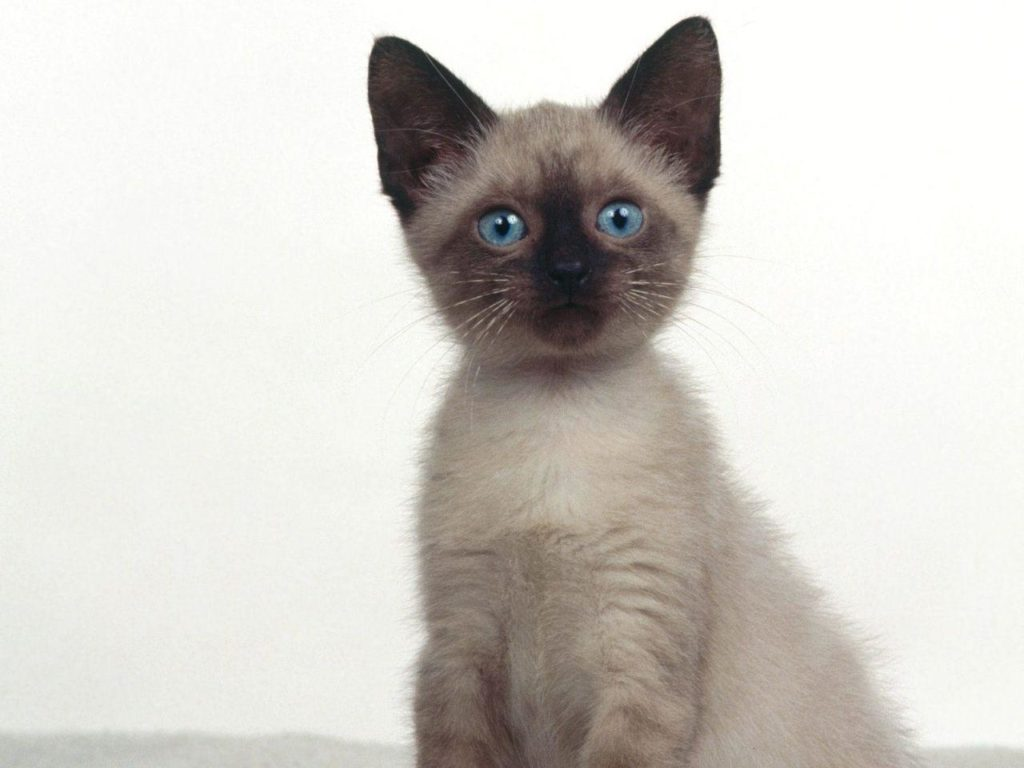 +25 iPhone Siamese Cat Wallpapers 13