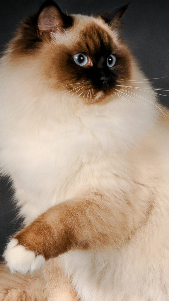 +25 iPhone Siamese Cat Wallpapers 14