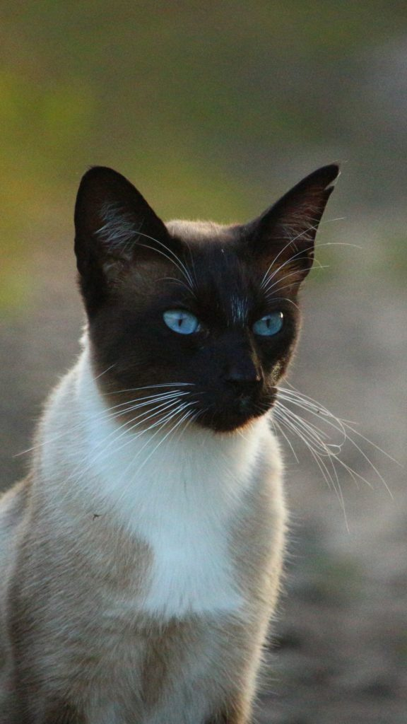 +25 iPhone Siamese Cat Wallpapers 15