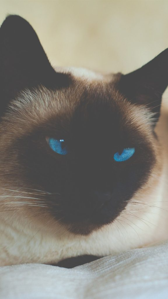 +25 iPhone Siamese Cat Wallpapers 17