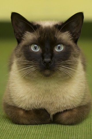 +25 iPhone Siamese Cat Wallpapers 18