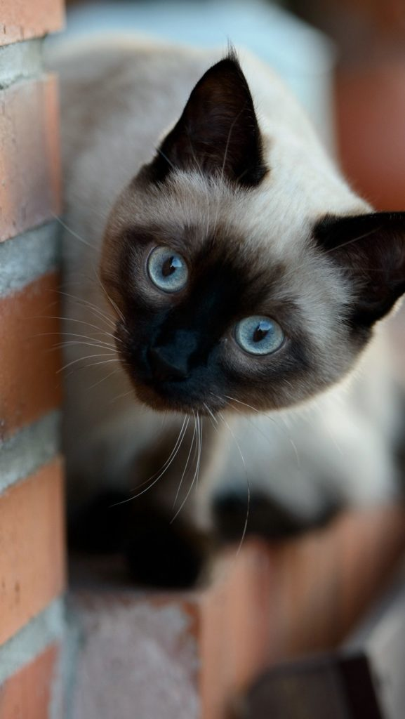 +25 iPhone Siamese Cat Wallpapers 24