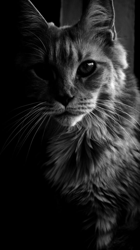 +40 iPhone Maine Coon Wallpapers 25