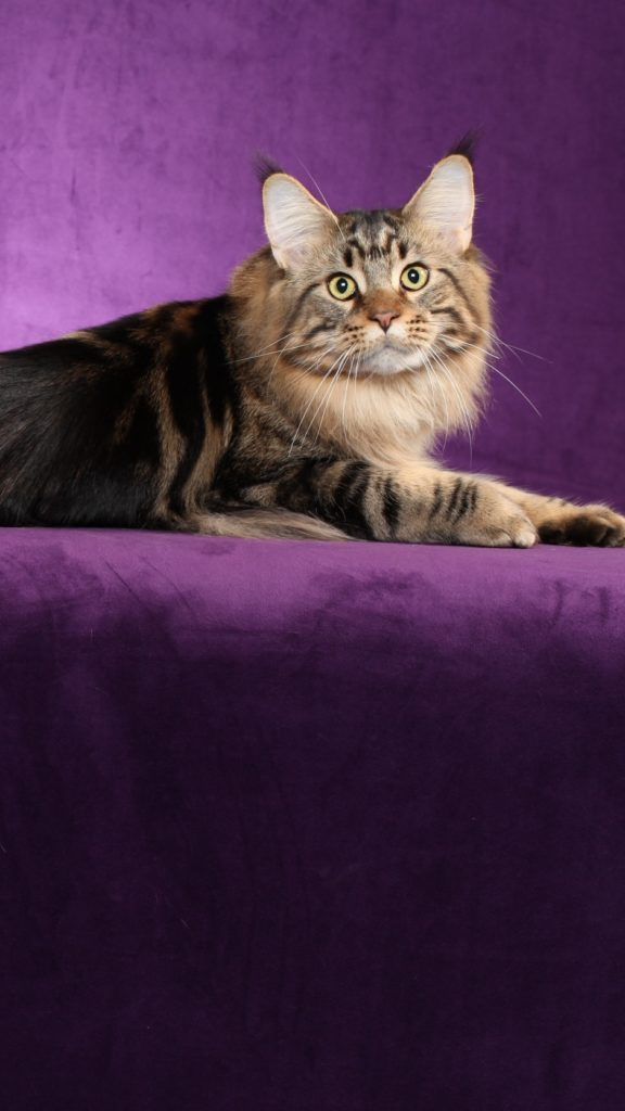 +40 iPhone Maine Coon Wallpapers 27