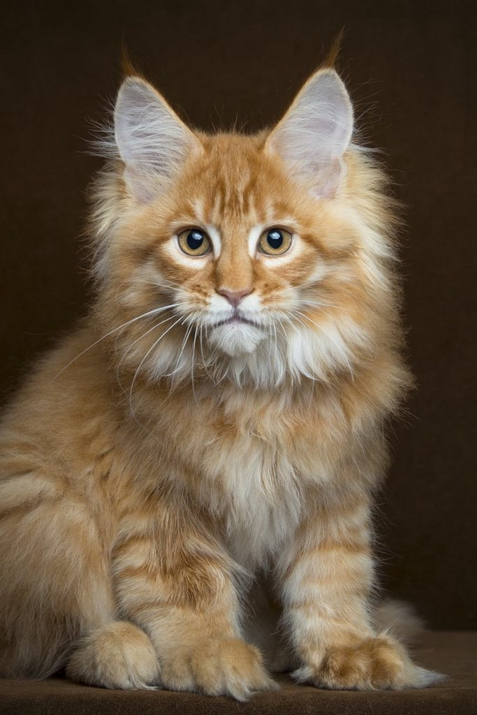 +40 iPhone Maine Coon Wallpapers 28