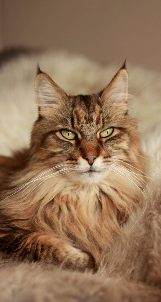 +40 iPhone Maine Coon Wallpapers 29