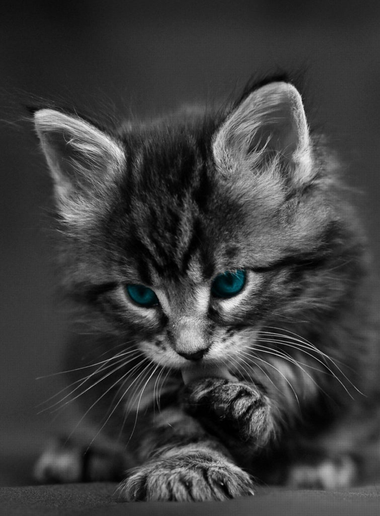 +40 iPhone Maine Coon Wallpapers 30