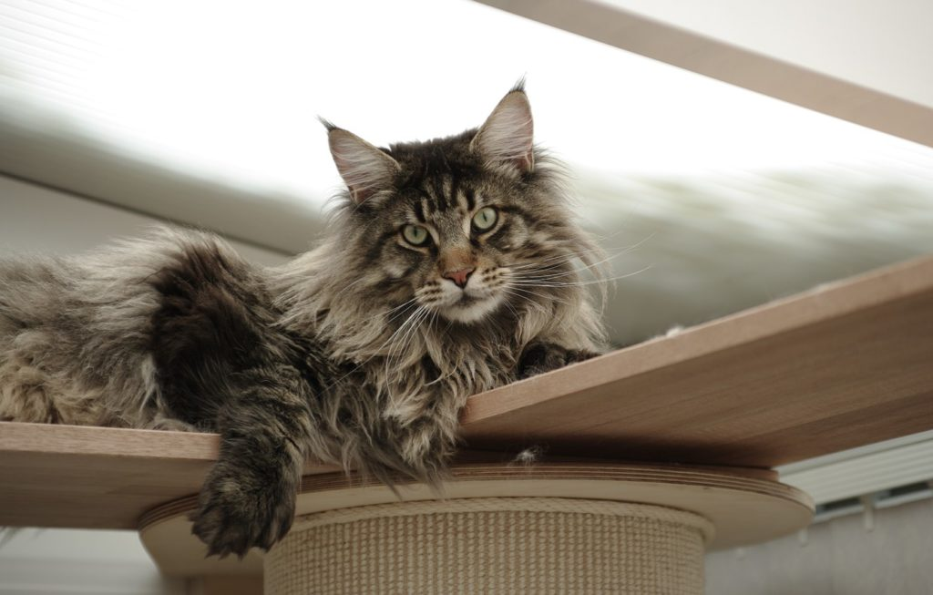 +40 iPhone Maine Coon Wallpapers 31