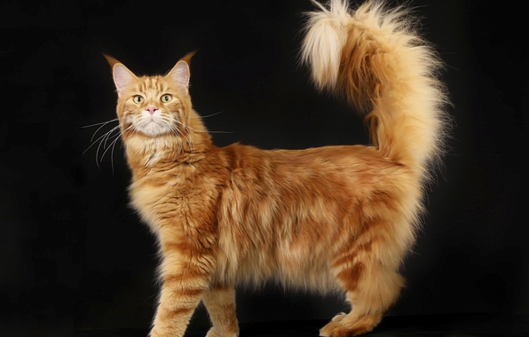+40 iPhone Maine Coon Wallpapers 32