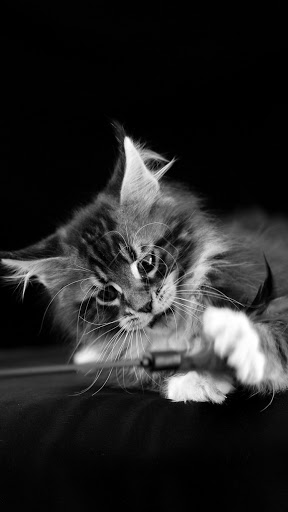 +40 iPhone Maine Coon Wallpapers 33