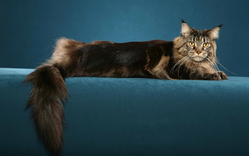 +40 iPhone Maine Coon Wallpapers 34
