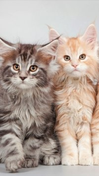 +40 iPhone Maine Coon Wallpapers 35
