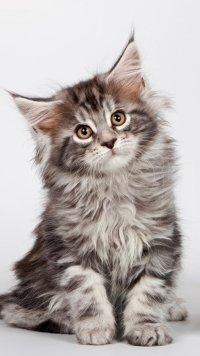 +40 iPhone Maine Coon Wallpapers 36