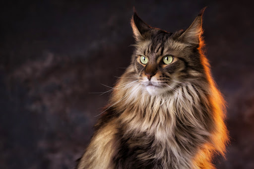 +40 iPhone Maine Coon Wallpapers 37