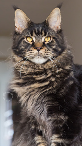+40 iPhone Maine Coon Wallpapers 38