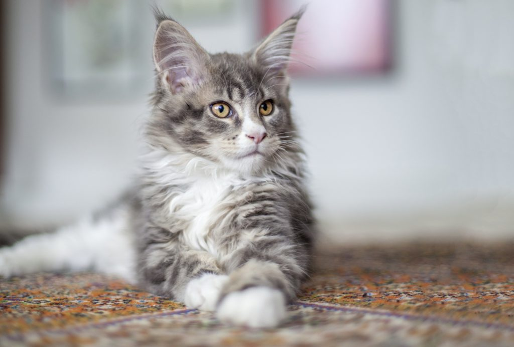 +40 iPhone Maine Coon Wallpapers 39