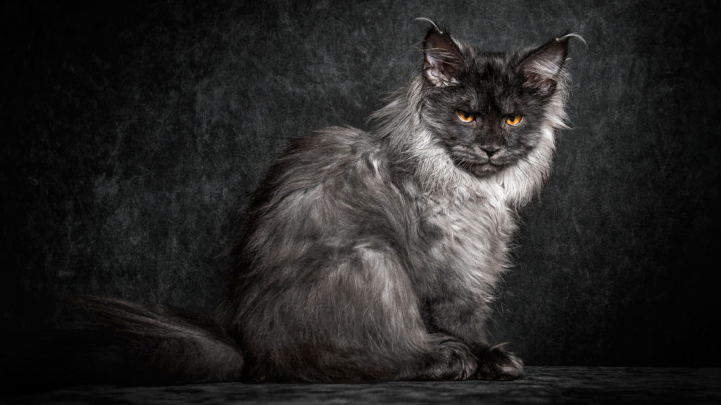 +40 iPhone Maine Coon Wallpapers 40
