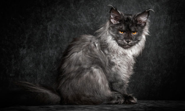 +40 Amazing Desktop Maine Coon Wallpaper