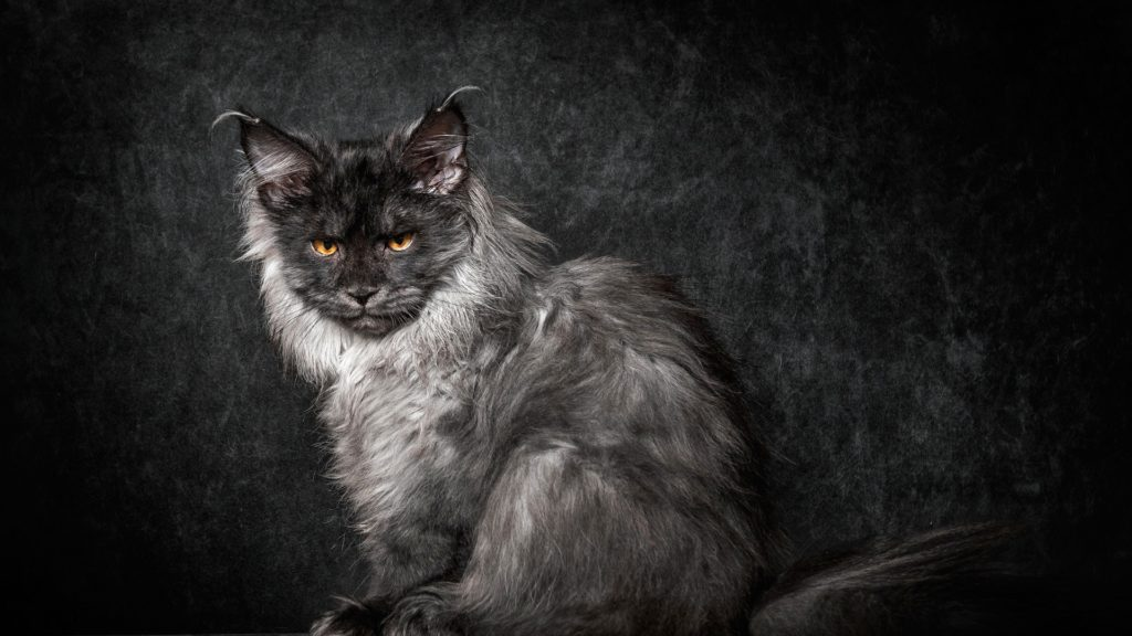 +40 iPhone Maine Coon Wallpapers 5
