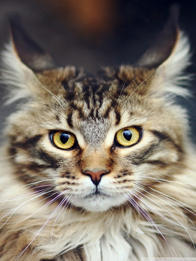 +40 iPhone Maine Coon Wallpapers 43
